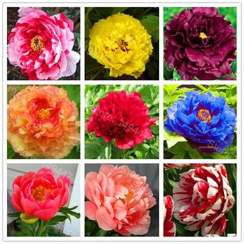 Hot Sale! 10pcs/bag mixed color peony seeds flower seeds High Quality Peony Flower Seeds bonsai plant for home garden