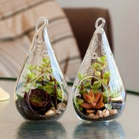 Teardrop Succulent Terrarium Duo Kit: Purple Aeonium (PAIR-TD-1000)
