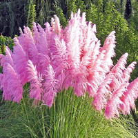 400 Pink Pampas Grass Seeds Cortaderia Selloana Feather FLower * Showy * Orname Fast Growing Gardening Decor DIY