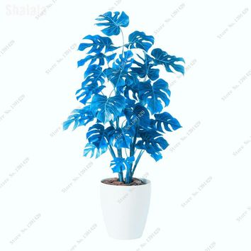 Exotic Monstera Seeds Blue Bonsai Turtle Leaves Pot Plants Indoor Flower Perennial Tree Seeds Garden Ornamental Plants 200 Pcs