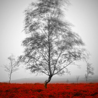 Tree photography, fine art photography, red, black, white, landscape print, atmospheric, framed print, mounted print, winter decor, unique
