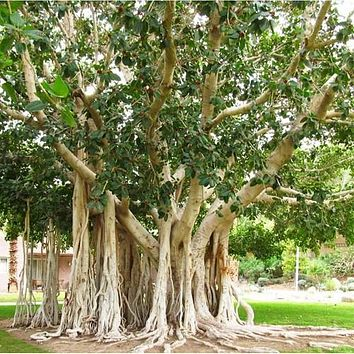 East Indian Fig Tree Seeds (Ficus benghalensis) 25+Seeds