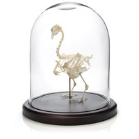 Mounted Pigeon Skeleton In Dome