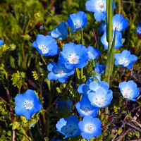 Baby Blue Eyes Flower Seeds (Nemophila Menziesii) 50+Seeds