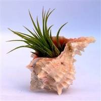 Pink Murex shells with Air Plants