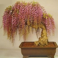 Free shipping wisteria seeds 10 Seeds pack rare gold mini bonsai wisteria tree seeds Indoor ornamental plants