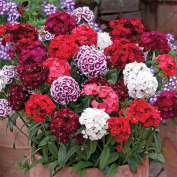 100pcs/bag America Dianthus Mixed seeds Sweet William Rare perennial flower seeds indoor balcony bonsai seeds for home garde