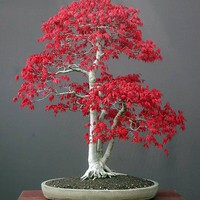 Acer Palmatum - 10 Seeds - Flowerstore | Amazing Flowers | Rare seeds and Plants - Rare seeds and