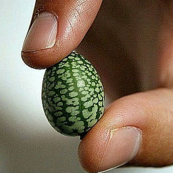 Mouse Melon, Mexican Sour Gherkin, 10 seeds, teeny crunchy fruit, easy heirloom, non GMO, tangy flavor, fun for kids
