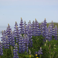 Photo Print of Long Island Lupine 4x6 and larger
