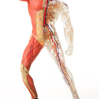 Anatomical Snap-Together Kit, Muscle Man