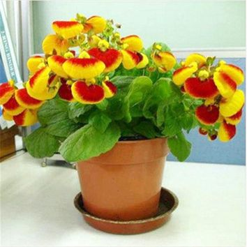 Yellow Calceolaria Seed Slipper Flower Indoor Bonsai Plant Garden Herbeohybrida Fascination Nature plants 100 Pcs Fast Growing