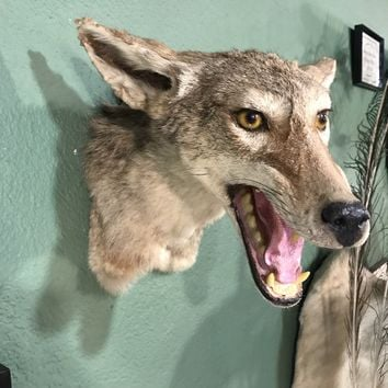 Coyote Shoulder Mount