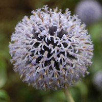 Globe Thistle White Flower Seeds (Echinops Ritro) 30+Seeds