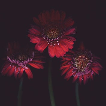 Large scale fine art print. Red Gerbera photography.Contemporary red black home decor.Botanical photography.Sizes from 4x6 to 30x40.