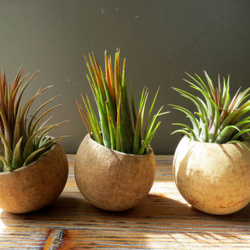 Scottsdale Trio: A set of three natural seed pod containers complete with Tillandsia Ionantha Rosita Air Plants