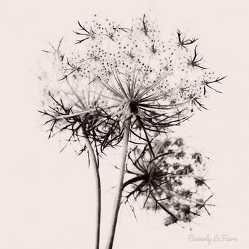 Anne, queen anne's lace, nature, fine art photography