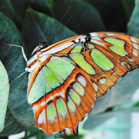 Green and Orange Butterfly...Butterfly Wall Art..Butterfly Home Decor