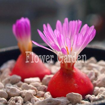 100 Seeds/pack Purple Flower Raw Stone Flower pot Seeds Living room and Office Balcony Planting Succulents Lithops Seeds,#WT8IKR