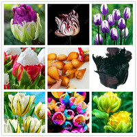 100% True tulip bulbs,Double Tulip 'Barbados' (not tulip seeds) flower bulbs Variety Fresh Bulbous Root tulipanes plant 2 bulbs