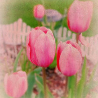 Soft Pink Tulips, Spring, Digital Art Print, Home Decor, Ready to Frame Photo, Wall Hanging, Floral Photograph, Surreal, Bight, Nebraska