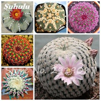 100 Pcs True Cactus Seeds,Mini Cactus,Prickly Pear,Japanese Succulents Bonsai Flower Seeds,Potted Plant For Home Garden