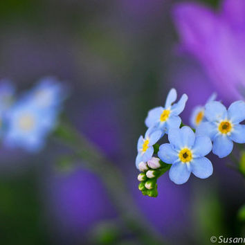 Flower Photography, Blue Forget-Me-Not, Matted Print and Photo Card, Fine Art Print, Spring Time, Gift for Her, Wall Decor