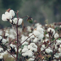 Cotton Field 5 by Andrea Anderegg Photography