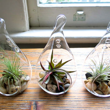 Trio of Hanging Teardrop Terrariums with Argentine Thin, Guatemalan, and Velutina Air Plants
