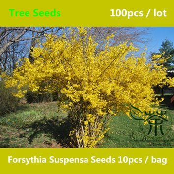 ^^Beautifying Forsythia Suspensa Seeds 100pcs, Flowering Plant Chinese Lian Qiao Tree Seed, One Of The 50 Fundamental Herbs Seed