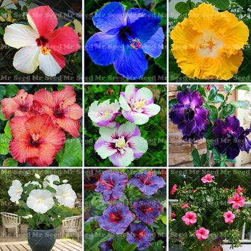 100PCS/bag giant hibiscus flower seed mixed color flower hibiscus seed DIY home garden,potted easy to grow for the family garden