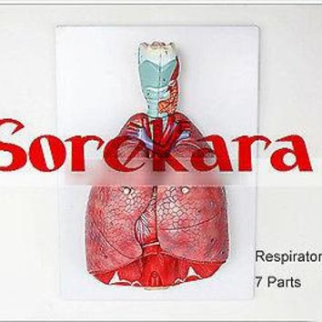 1:1 Human Anatomical Respiratory System Heart Lung Organ Medical Teach Model School Hospital