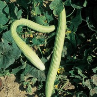 Tortarello, 'Abruzzese Chiaro' Seeds £2.25 from Chiltern Seeds - Chiltern Seeds Secure Online Seed Catalogue and Shop