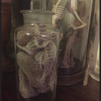 Antique Glass Apothecary Jar - Filled with a Large Naturally Shed Snakeskin - Cabinet of Curiosity