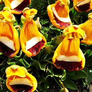 100 Lady Slipper Calceolaria Fothergillii Seeds | Darwins Yellow Flower Plants Uniflora Aliens Home Garden DIY Bonsai Exotic Rock