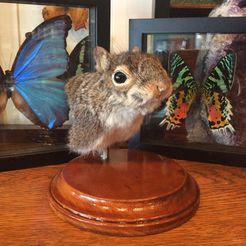 Squirrel Shoulder Mount with Stained Wood Base