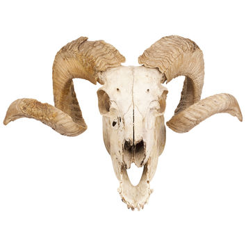 Curly Horned Ram Skull Wall Decal