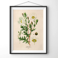 Vintage Flower Botanical Reproduction Print. Mexican White Poppy. Garden Seed Packet Educational Chart Diagram - CP204