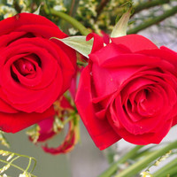 Heirloom 100 SEEDS Red Roses Fire Bush Rose Garden Double Flower Organic Bulk Perennials B3001
