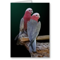 "Roseate Cockatoos ""We're Expecting"" Greeting Card"