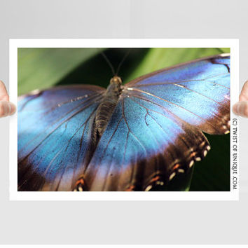 Upclose Butterfly Photography/ OPEN EDITION prints / Wildlife photography and Butteryfly art / Blue, Black