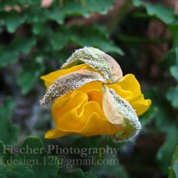 Yellow Poppy Flower Photo, Nature Photography, Wall Decor, 5 x 7 Print