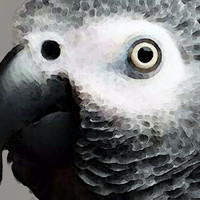 African Gray Parrot Art - Softy
