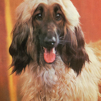 Vintage «The Afghan Hound» Photo Postcard from «Our Faithful Friends» Series - Printed in the USSR, «Planeta», Moscow, 1987
