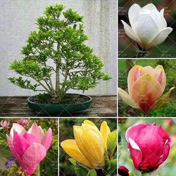 10pcs Bonsai Magnolia Seeds Magnolia Tree Seeds Beautiful Flower Seeds Indoor Or Ourdoor Potted Plants DIY For Home Garden