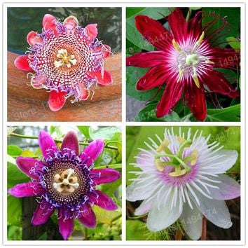 200pcs/bag Rare Flower Seeds Passion Flower (Passiflora incarnata) Certified Pure Live Seed bonsai plant  Passion fruit seeds