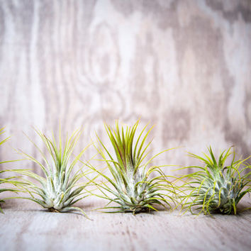 Five Pack Guatemalan Air Plants Tillandsia