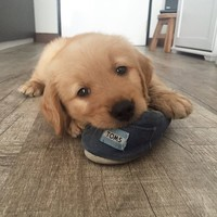 Toms Shoes Chewed by Cute Dog Chewie the Goldie