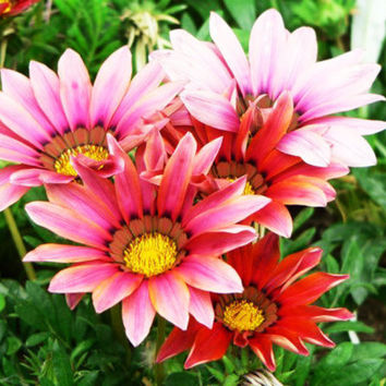 New 1 Pack 20 seed Gorgeous Gazania rigens flower + gift Plant LSCA .S