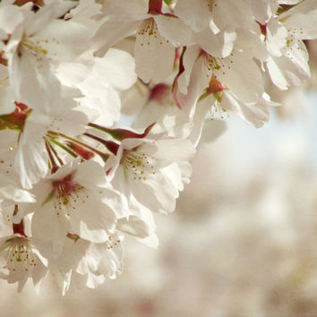 Spring Blossom Photography, Pale Soft, White Flowers, Cherry Blossom Print, 10x8 Print,  Spring Blossom...